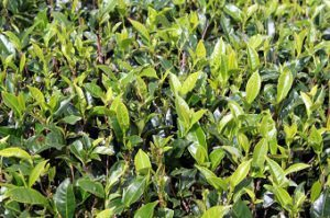 Green tea leaves and bush on plantation in Sri Lanka
